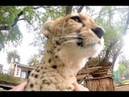 African Cheetah Loves Attention Big Cat Spends Enrichment Time Visiting Man Purrs Licks Friend
