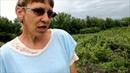 Чёрная смородина сибирские сорта Шушенский ГПЯСУ (Государстыенный плодово-ягодный соровой участок)