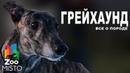Грейхаунд - Все о породе собаки | Собака породы Грейхаунд