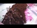 КОРМИМ ВТОРОГО ПАУЧКА Acanthoscurria geniculata У ТАРАКАНА НЕ БЫЛО ШАНСОВ