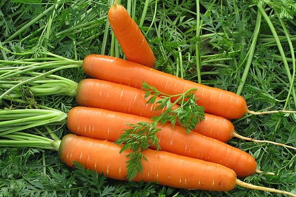 Можно ли сажать морковь под зиму Какие сорта сеют и как правильно проводить процедуру