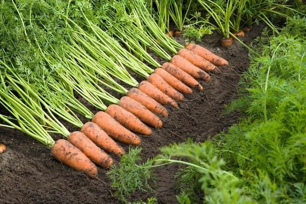 Когда наступает последний срок посадки моркови Какие факторы влияют на определение времени