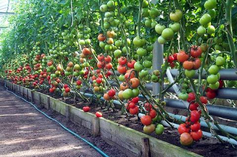 чтобы в теплице выросли хорошие томаты популярные схемы посадки, рекомендации для разных сортов огородникам известно, что урожай помидоров в теплице можно собрать намного больше и качественнее,