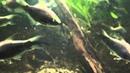 Emperor Tetra Nematobrycon palmeri Tropical Fish