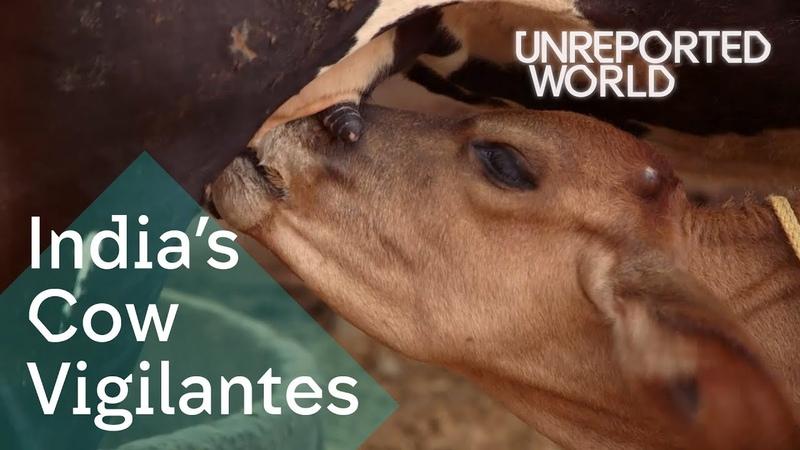 Indias Hindu vigilantes killing to protect cows | Unreported World
