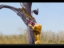 Male lion climbing a tree to steal leopard launch