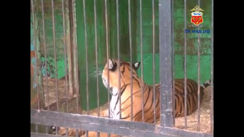В Бузулуке молодой человек пытался похитить из передвижного зоопарка тигренка