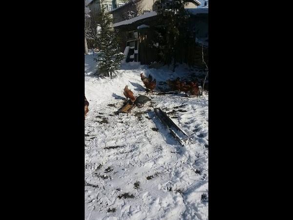 Ziraat brown swiss tavuklarının kardaki davranışlarını inceledik sonuç açıklama bölümünde