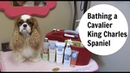 Bathing a Cavalier King Charles Spaniel- Part 1