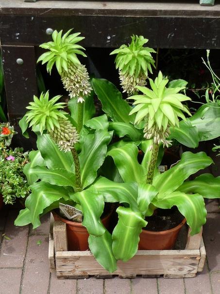 ЭУКОМИС Эукомис очень оригинальное луковичное растение, в переводе с греческого означающее «красивый вихор». Также его еще называют «Ананасный цветок», за сходство распустившегося соцветия с