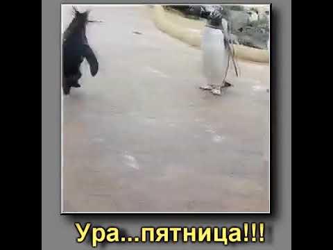 Ура! Пятница! Пингвин