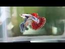 гуппи -- -- -- Super Dumbo Mosaic Halfmoon Guppy