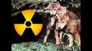 Логово с волчатами в заброшенном доме Чернобыльская зона