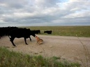 Red Heeler Bear working cattle with stockdogs