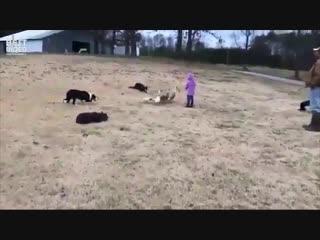 У собак командная работа