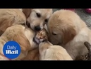 Adorable moment labradors enthusiastically groom ginger CAT