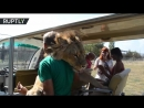 Lion jumps into open vehicle full of tourists on safari tour in Crimeas Taigan