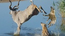 Smart animals refuse to be an easy meal for lions, hyenas, crocodile, wild dogs