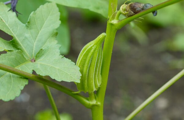 Дамские пальчики-интересный овощ!. Этот овощ, выходец из Северо-Восточной части Африки, содержит большое количество полезных веществ-аскорбиновую кислоту, витамины, масло, напоминающее своим