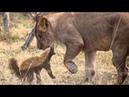 Медоед - свирепый зверь Honey badger is a ferocious beast боец fighter