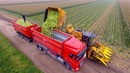 Picking Organic Sweet Corn | Oxbo 2475 corn picker | suiker mais plukken
