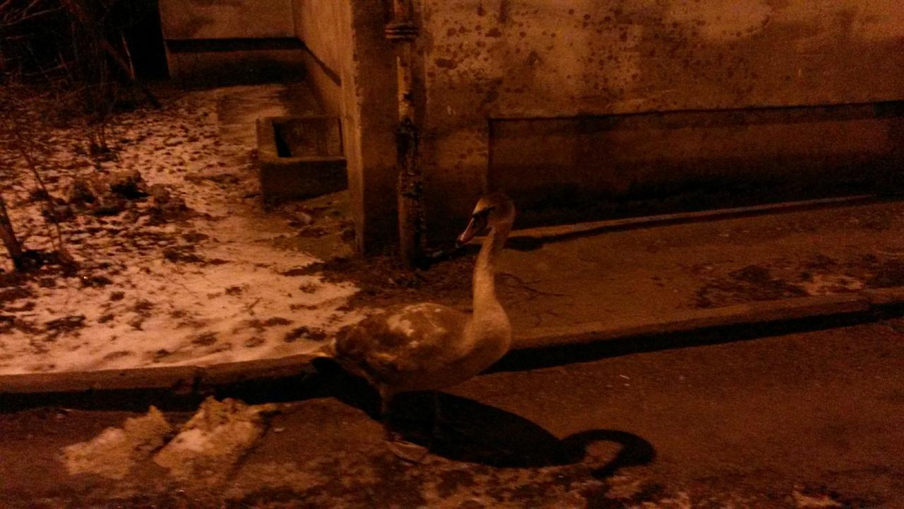 Молодой лебедь в Калининграде  врезался в стену дома во время полета