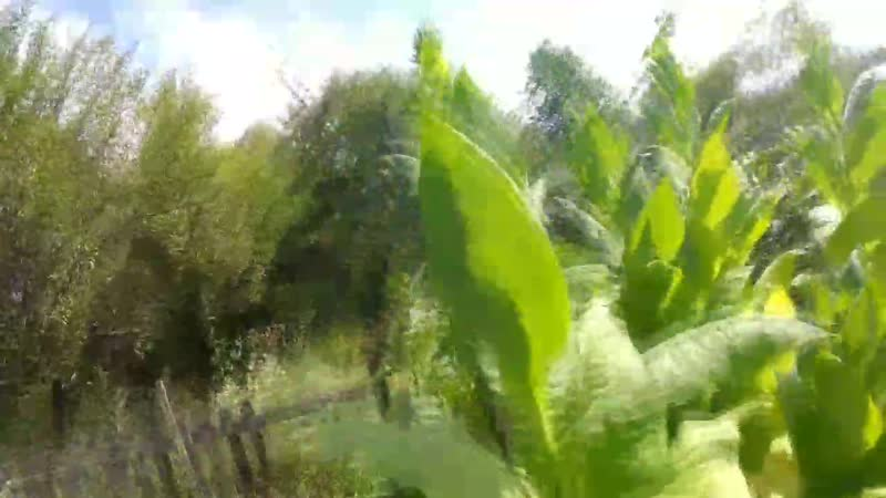 Filestorageemulated0VideoТабак. Выращивание от А до Я. Моя маленькая табачная плантация._Full-HD.mp4