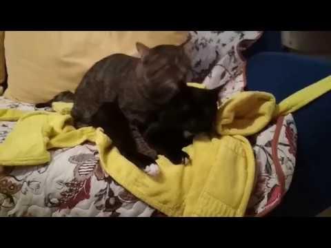 Кот обормот массажист и визажист