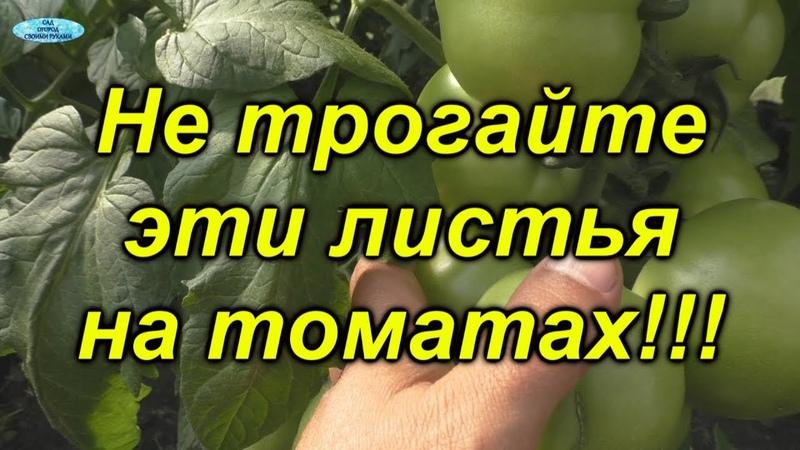 Никогда не удаляйте на томатах эти листья