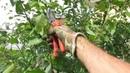 Когда начинать летнюю обрезку плодовых.