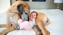 Cute Dogs Babysitting Babies Compilation