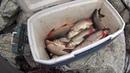 ловля сига зимой клевал изумительно супер удача sig fishing Whitefish