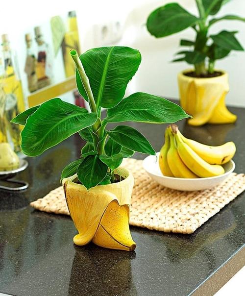 как вырастить банан из семян банан в домашних условиях можно посадить семенем, либо можно приобрести уже готовый подрощенный экземпляр. нужно иметь в виду что это будут разные растения.