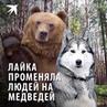 """Комсомольская правда on Instagram """"Если среди собак бывают «маугли», то это как раз про нашу лайку. Только она ушла жить не в волчью стаю, а к мед..."""