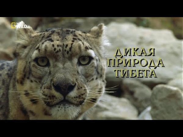 Nat Geo Wild: Дикая природа Китая. Царство дикой природы Тибета (1080р)