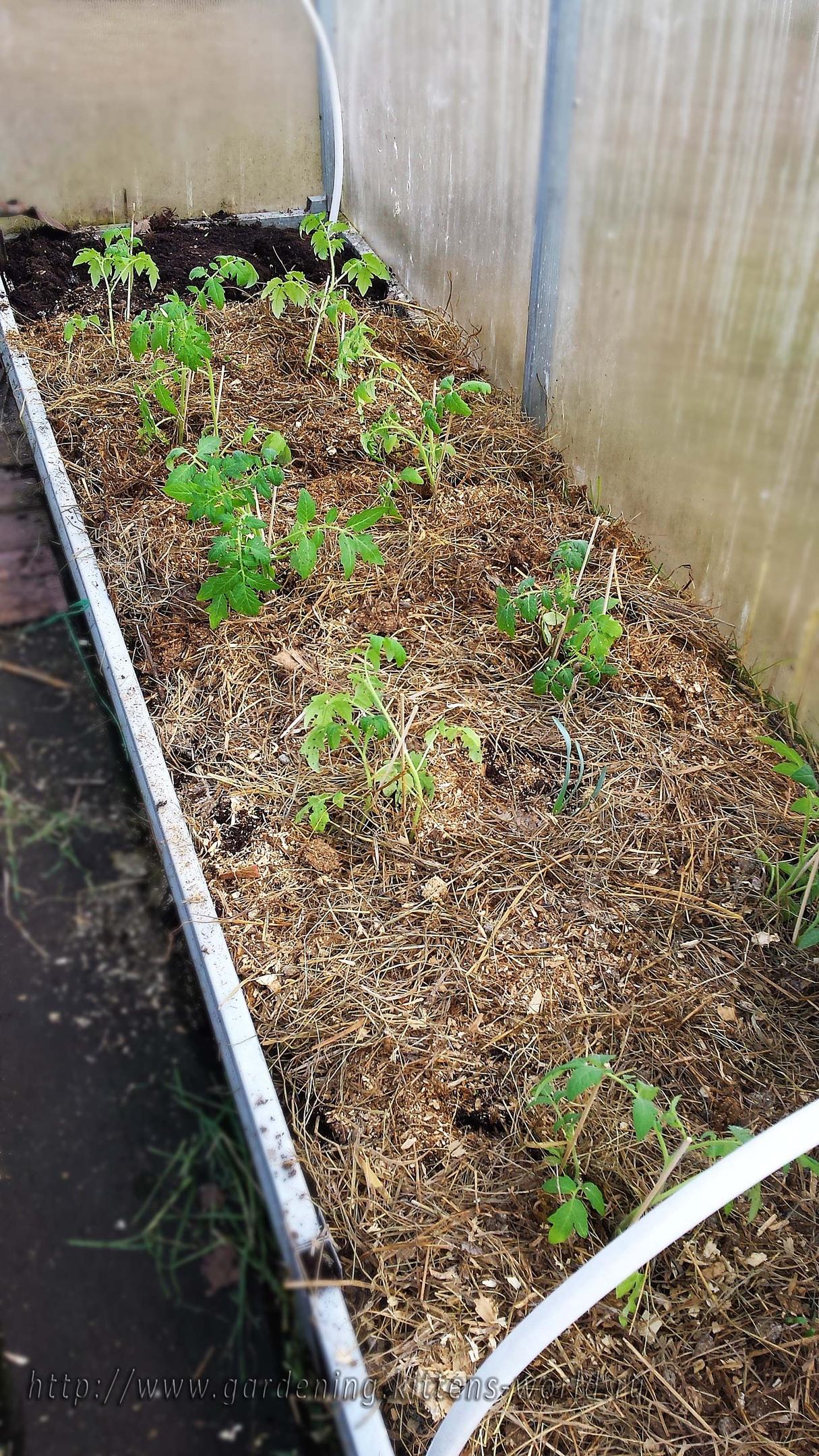 Высадка рассады томатов из полиэтилена в теплицу