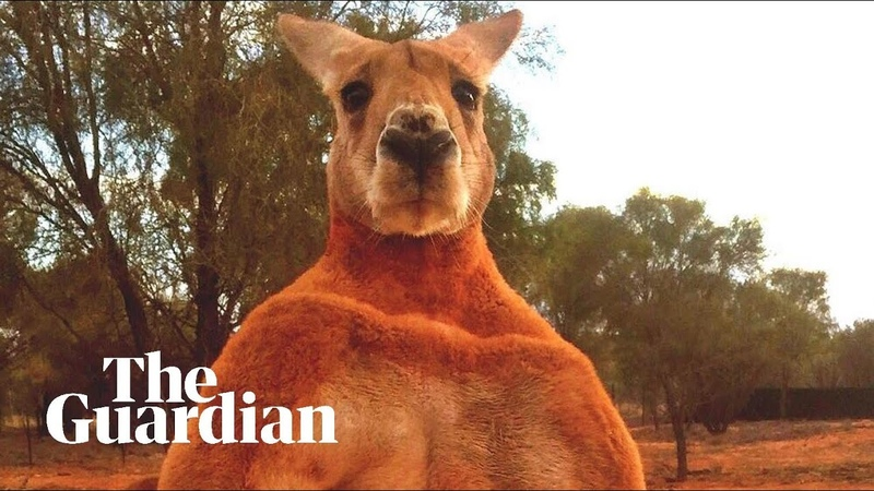 Remembering Roger the ripped kangaroo