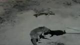 Койоты атакуют и убивают кошку