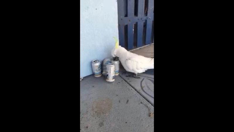WATCH Cockatoo brew Australian fowl forages for alcohol.mp4
