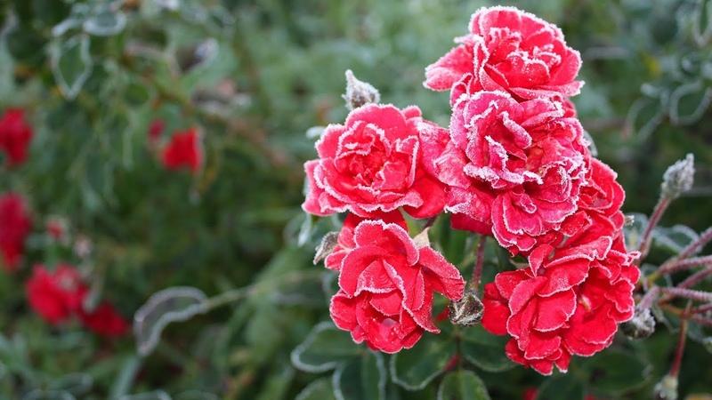 Сад непрерывного цветения Десять садовых цветов в октябре