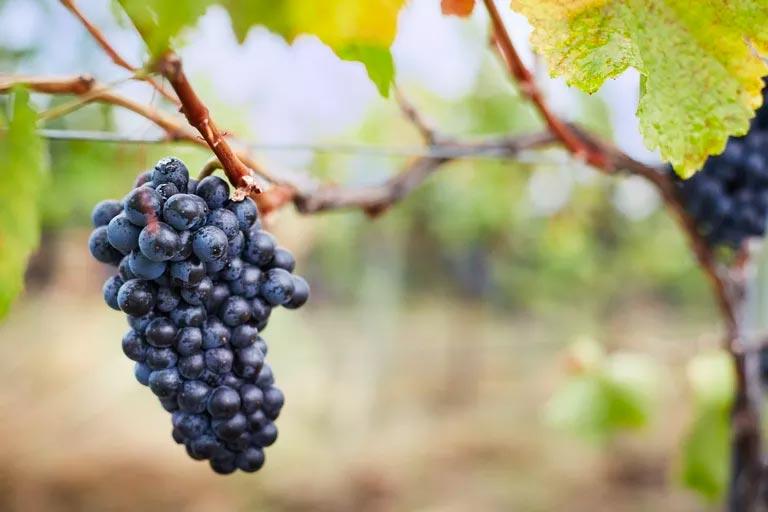 Чем полезно натуральное вино?