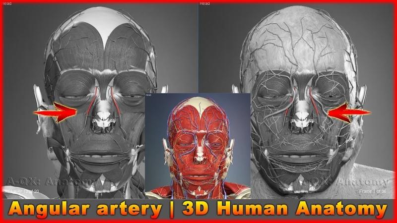 Angular artery | Arteries of head and neck | 3D Human Anatomy | Organs