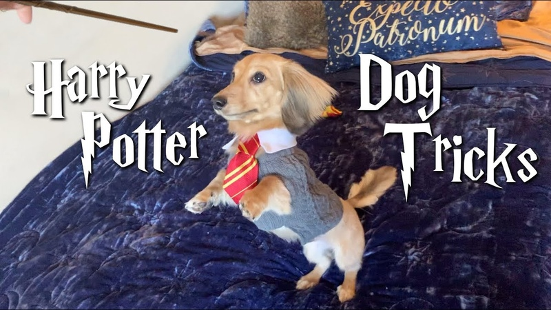 My dog only responds to Harry Potter spells
