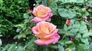 Болезни роз ложная мучнистая роса - не путать с черной пятнистостью!