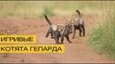 Игривые котята гепарда