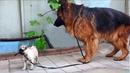Смелый Мопс и Немецкая Овчарка Опасные Игры. Brave pug playing with a German Shepherd.