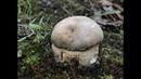 Колосовики (ранние берёзовые белые грибы) и лисички. ПРОСТО СУПЕР!