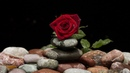 Картинка цветок Красивая красная роза лежит Imagine floare Trandafir rosu frumos minciuni