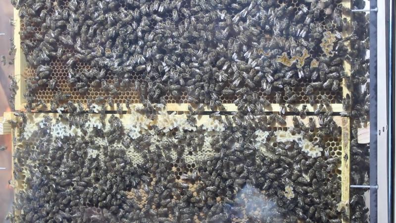 Пчелы даже на выставке трудятся.