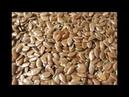 Худеем медленно но уверенно Сыроедческая каша из семян льна и её польза